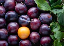 Ripe juicy plums with leaves as background. Royalty Free Stock Photos