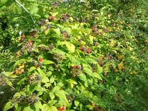 Ripe juicy raspberries and blackberries. In the autumn forest Stock Photography