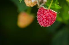 Ripe juicy raspberry stock image