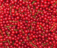 Ripe juicy red currant berries Stock Images