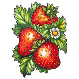Ripe juicy strawberries. Three ripe strawberry and flower on a background of green leaves, is drawn marker Stock Photos