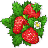 Ripe juicy strawberries. Three ripe strawberry and flower on a background of green leaves. Vector illustration Stock Image