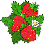 Ripe juicy strawberries. Three ripe strawberry and flower on a background of green leaves. Vector illustration Royalty Free Stock Images