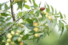 Ripe jujube. Royalty Free Stock Photography
