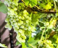 Ripe Kish-mish grapes on the vine. Stock Photos