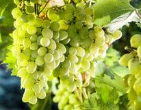 Ripe Kish-mish grapes on the vine. Stock Image