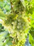Ripe Kish-mish grapes on the vine. Royalty Free Stock Image