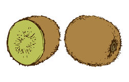 Ripe kiwi fruit. Vector drawing. Tasty raw tropical Chinese gooseberry Actinidia fruitful isolated on white backdrop. Freehand outline ink hand drawn picture Stock Photos