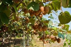 Ripe kiwi fruits Royalty Free Stock Image