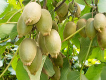 Ripe kiwifruits grown as an agricultural crop. Closeup of cultivated ripe kiwifruits, Actinidia deliciosa, hanging heavily from vines ready to be harvested as an Stock Photo