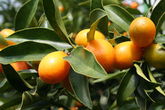 Ripe Kumquats. Some ripe Kumquats hanging on a tree royalty free stock photos