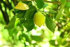 Ripe Lemon Stock Images