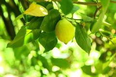 Ripe Lemon. A ripe lemon ready for picking off the tree Stock Images