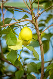 Ripe lemon growing on tree at garden Stock Image