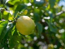 Ripe lemon hanging off of tree ready for harvest Stock Image