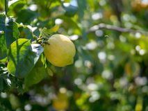 Ripe lemon hanging off of tree ready for harvest Royalty Free Stock Photo