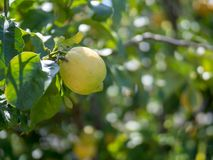 Ripe lemon hanging off of tree ready for harvest Stock Photos