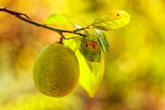 Ripe lemon hanging on a tree branch in the garden Royalty Free Stock Images
