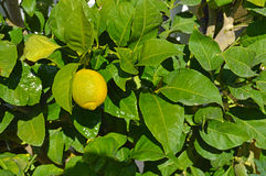 An Almost Ripe Lemon Royalty Free Stock Photos