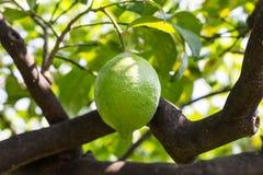 Almost ripe lemon Stock Image