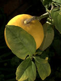 Ripe lemon on tree. Closeup of ripe lemon on branch with green leaves, black background Royalty Free Stock Photography