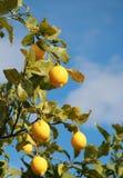Ripe lemons. Growing lemon trees in Sicily Stock Photos