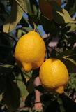 Ripe Lemons Royalty Free Stock Photography