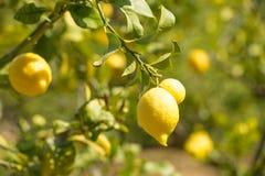 Ripe lemons Stock Photos