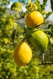 Ripe lemons Royalty Free Stock Photos