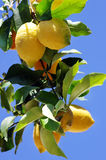 Ripe lemons on blue sky Stock Photography