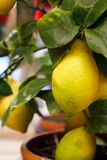 Ripe lemons on a decorative tree. Vitamins Stock Photos