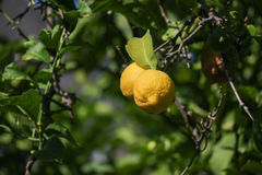 Ripe lemons hanging on a tree.  Royalty Free Stock Photography