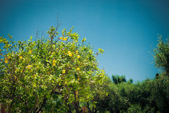 Ripe lemons hanging on a tree in Greece Royalty Free Stock Photos