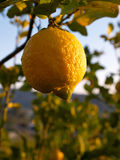 Ripe lemons hanging on a tree Italy Stock Photos