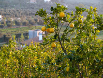 Ripe lemons hanging on a tree Italy Royalty Free Stock Photography