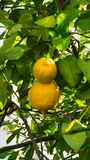 Ripe lemons hanging on tree wallpaper Stock Images
