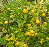 Ripe lemons hanging on a tree. Photo took in New Zealand, photo is usable on picture post card, calendar, gardening Stock Photo