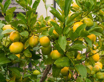 Ripe lemons hanging on a tree. Photo took in New Zealand, photo is usable on picture post card, calendar, gardening Royalty Free Stock Images