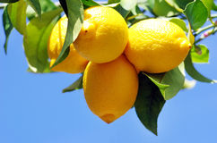 Ripe lemons Royalty Free Stock Photos