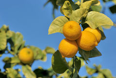 Ripe lemons on tree. With blue sky background Stock Photography