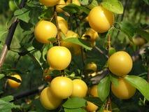 Ripe lemons on tree. A closeup view of ripe, yellow lemons on a lemon tree, ready for picking Royalty Free Stock Photo