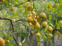 Ripe lemons on tree Royalty Free Stock Photography
