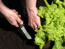 Ripe lettuce Stock Photography