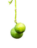 Ripe lime with green leaf. Isolated on white background with cop Stock Image