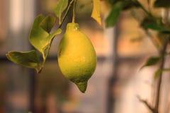 Ripe lime on his tree in a bio garden. A ripe lime on his tree in a bio garden in France Stock Photos