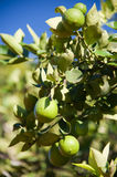 Ripe Limes Growing Outdoors Royalty Free Stock Photography