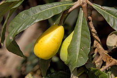 Ripe  Loquat fruits on the Tree Royalty Free Stock Photography
