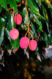 Ripe lychee fruit Royalty Free Stock Photography