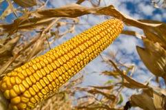Ripe maize Stock Photography