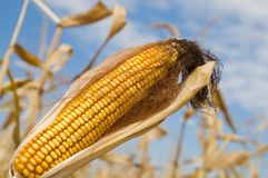Ripe maize Stock Images